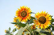 Helianthus yellow sun face head sunflower plant flower flowering close up, UK