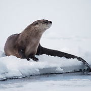North American river otter (Lontra canadensis), Lamar River, Yellowstone National Park, Wyoming.