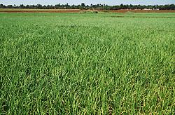 Field of rice in Cuba,