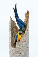 Ein Paar des Gelbbrustaras (Ara ararauna) auf einer abgestorbenen Palme, Pantanal, Brasilien<br /> <br /> A pair of Yellow-breasted Macaw (Ara ararauna) on a dead palm, Pantanal, Brazil