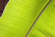 Green banana leaf<br />