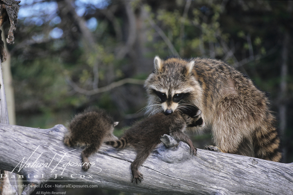 Raccoon (Procyon lotor) mother carrying her young, Montana.  Captive Animal
