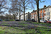 Victorian Terraces and spring crocuses on Crondace Road, Parsons Green, London SW6
