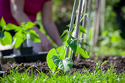 Planting climbing French Beans at the base of canes. Phaseolus vulgaris