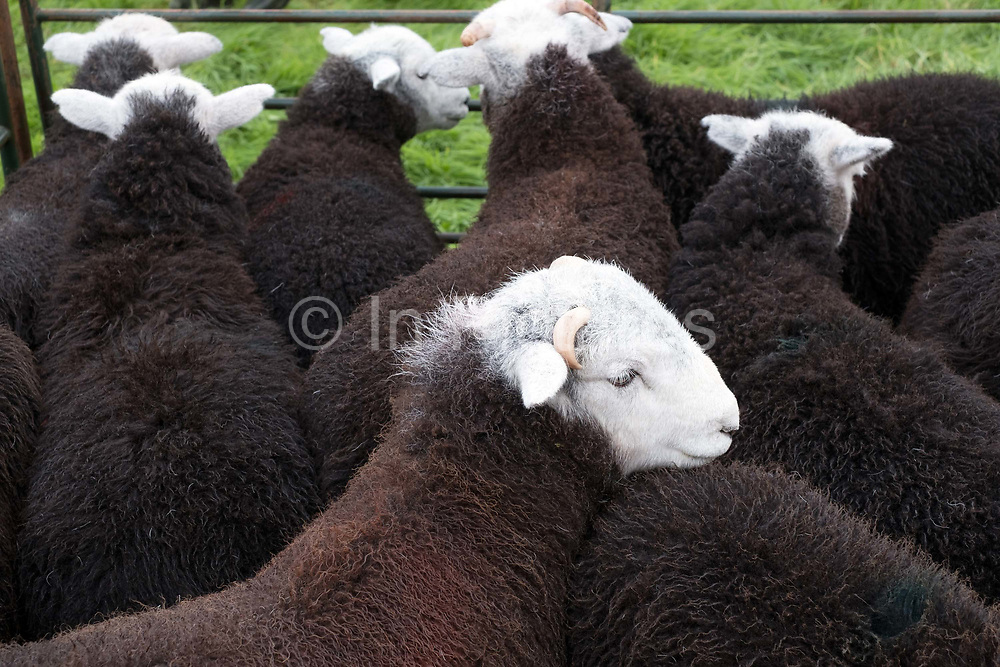 Herdwick lambs at Borrowdale Shepherds Meet in Rosthwaite village, Cumbria on 16 September 2018. Herdwick lambs are born black and over the first six months the colour changes to brown with the grey beginning to show after the first shearing and then Herdwicks become a lighter and lighter grey each year