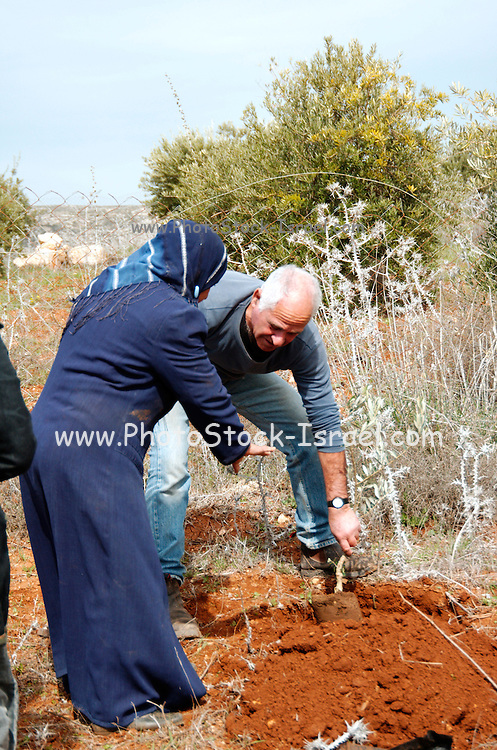 An Israeli and palestinian planting an olive tree, after the trees in this patch were damaged by Jewish settlers