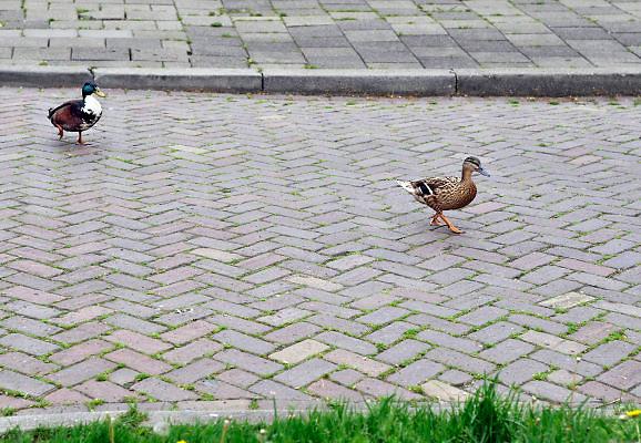 Nederland, Nijmegen, 13-5-2012Een overstekend eendenpaartje. Het mannetje loopt achter het vrouwtje aan.Foto: Flip Franssen/Hollandse Hoogte