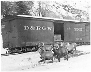 Box car #3202 with Rocky Mountain sheep.<br /> D&RGW  Ouray, CO  ca 1925
