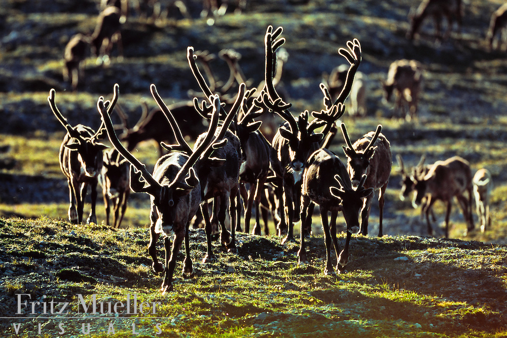 Caribou bulls cross a ridge during the migration across North Yukon