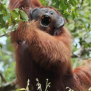 Orang-utan (Pongo pygmaeus) large male yawning, Tanjung Puting National Park. Borneo