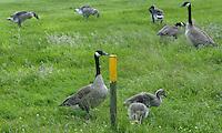 GC Princenbosch-Ganzen op de golfbaan van Princenbosch. COPYRIGHT KOEN SUYK
