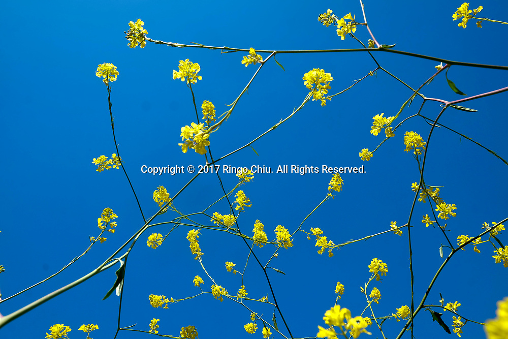 Mustard flowers bloom at Chino Hills State Park in Chino Hills, California on April 15, 2017 amid an explosion of wildflowers blooming across southern California following this winter's rain after a severe five-year drought.(Photo by Ringo Chiu/PHOTOFORMULA.com)<br /> <br /> Usage Notes: This content is intended for editorial use only. For other uses, additional clearances may be required.