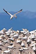 Australasian Gannet, Farewell Spit, New Zealand