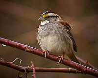 White-throated Sparrow on a Vine. Backyard Winter Nature in New Jersey. Image taken with a Nikon D2xs camera and 70-200 mm VR lens (ISO 200, 200 mm, f/2.8, 1/320 sec)