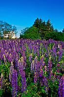 Lupins, near Oyster Bed Bridge, Prince Edward Island, Canada