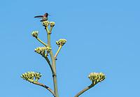 Male Anna's Hummingbird, Calypte anna, perches on an Agave in the Desert Botanical Garden, Phoenix, Arizona