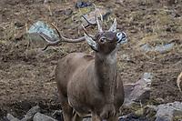 A male, buck,  White-lipped deer also called Thorold's deer, Cervus albirostris, 白唇鹿, Serxu, Garze Prefecture, Sichuan Province, China
