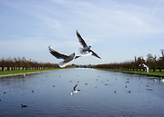 © Licensed to London News Pictures. 31/10/2014. Hampton, UK. Gulls fly at the Long Walk water course at Hampton Court Palace.  People enjoy the warm weather at Hampton Court Palace today 31st October 2014. forecasters are predicting It could be the warmest halloween on record. Photo credit : Stephen Simpson/LNP