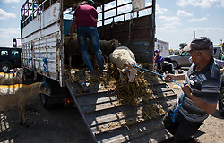 Sheep are unloaded from a truck ahead of their sacrifice during Eid-al-Adha celebrations in Istanbul, Turkey on August 21, 2018. Muslims across the world are celebrating the annual festival of Eid al-Adha or the festival of sacrifice which marks the end of the Hajj pilgrimage to Mecca and commemorates prophet Abraham's readiness to sacrifice his son to show obedience to God. Photo by Depo Photos/ABACAPRESS.COM