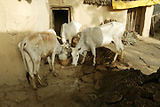IND.MWdrv04.155.x..Three cows have a morning meal in Ahraura Village, Uttar Pradesh, India. Animals..