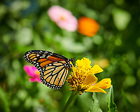 Monarch Butterfly on a Zinnia Flower. Image taken with a Nikon D850 camera and 105 mm f/1.4 lens (ISO 64, 105 mm, f/6.3, 1/160 sec).