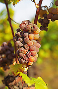 "A mouldy Semillon Sémillon grape bunch at Ch Raymond Lafon in Sauternes, The 'botrytis cinerea"" (noble rot, porriture noble) starting to have its effect, Bordeaux Gironde Aquitaine France Europe"