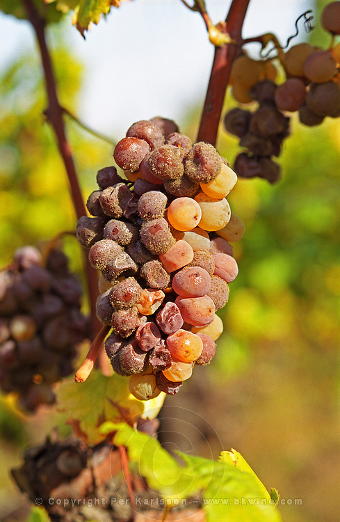 """A mouldy Semillon Sémillon grape bunch at Ch Raymond Lafon in Sauternes, The 'botrytis cinerea"""" (noble rot, porriture noble) starting to have its effect, Bordeaux Gironde Aquitaine France Europe"""