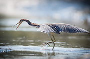 A tricolored heron fishes in a quickly draining tidal creek of the May River.
