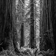 Majestic coast redwoods (sequoia sempervirens) and ferns of Jedediah Smith Redwoods State Park, California