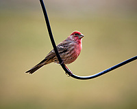 House Finch. Image taken with a Fuji X-T3 camera and 200 mm f/2 lens with 1.4x TC