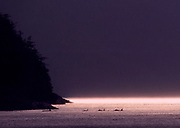 pod of Orcas (Orcinus orca) pass in the purple evening light.  BC, Canada