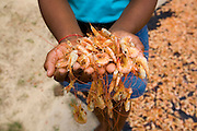 Sao Luis_MA, Brasil...Projeto Quintais Nutritivos, comunidade do Cajueiro. Camarao secando ao lado de rua da comunidade...Quintais Nutritivos project, Cajueiro community. In this photo, the shrimp is drying in this community...Foto: LEO DRUMOND /  NITRO