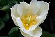 White Tulip Closeup
