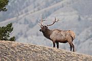 Bull elk in fall rut