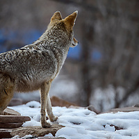 A coyote keeps lookout from the top of his shelter within his enclosure at the Navajo Nation Zoo in Window Rock Wednesday.