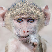 A portrait of a baby Olive Baboon (Papio anubis). Amboseli National Park, Kenya, Africa