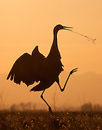 As part of their enchanting mating display, sandhill cranes will sometimes toss grass into the air.