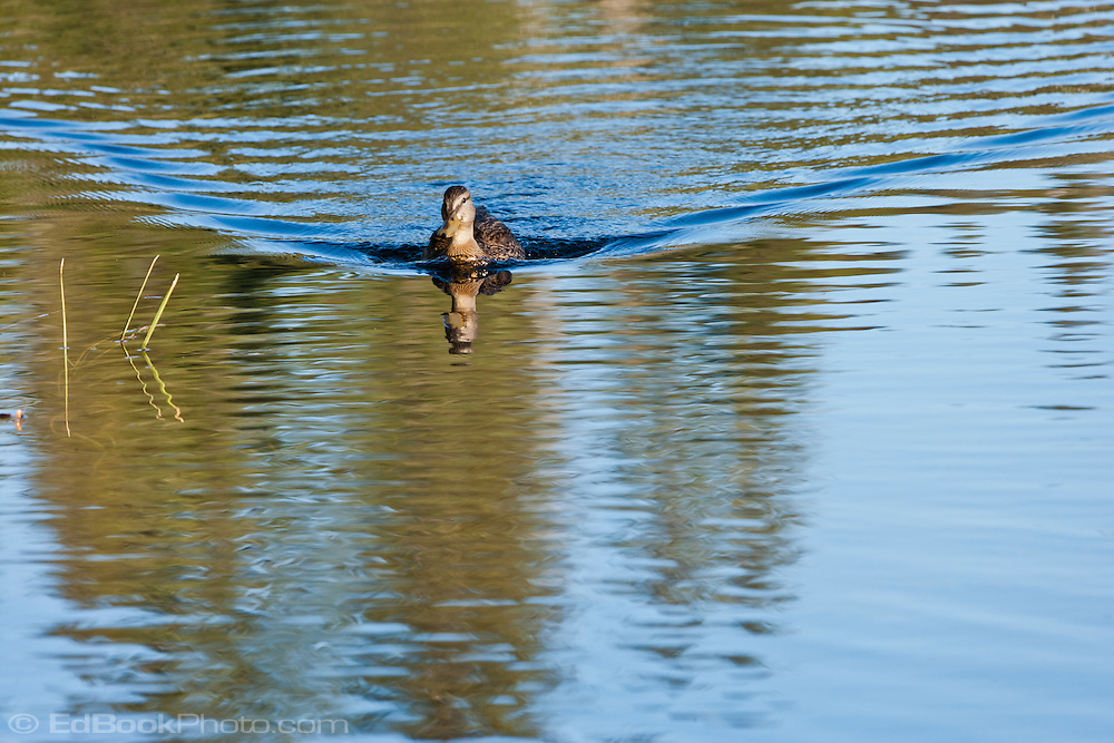 female Mallard duck (Adas platyrhynchos) a surface-feeding duck swimming with a V-shaped wake in Takhlakh Lake in the Gifford Pinchot National Forest, Washington state, USA