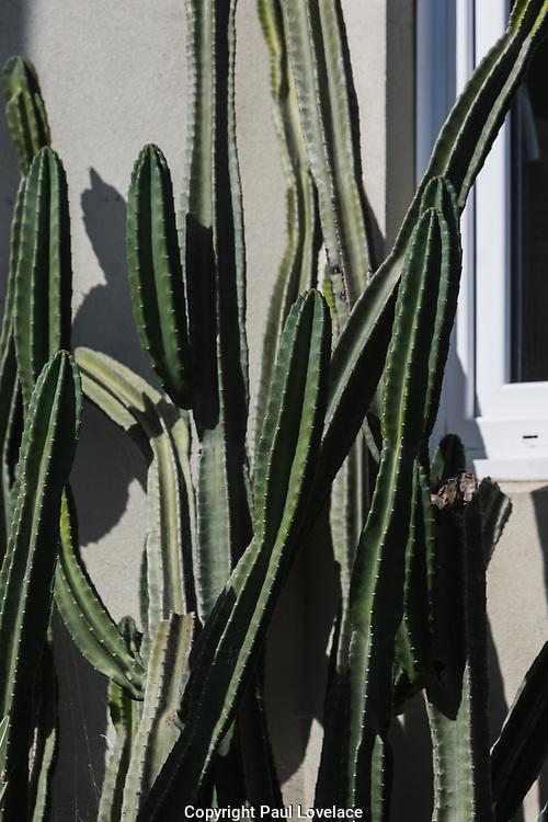 Sydney, Australia. Sunday 24th January 2021. Heatwave conditions hit Sydney this week. <br /> A cactus outside a Bondi Beach apartment.