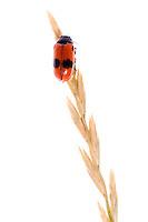 IFTE-NB-007333; Niall Benvie; Clytra quadripunctata; Austria; Europe; Tirol; Fliesser Sonnenhänge; insect invertebrate arthropod leaf beetle; vertical; high key; red black white; controlled; one; grasland upland meadow; 2008; July; summer; strobe backlight; Wild Wonders of Europe Naturpark Kaunergrat