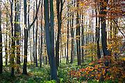 Autumn woodland scene of deciduous trees with orange brown leaves, near Sandy Lane, Wiltshire, England, UK