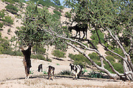 Argan tree (Argania spinosa) with goats. This tree is endemic to the Sous valley in Morocco. It is cultivated for the oil (argan oil) that is found in the fruit. The oil is rich in fatty acids and is used in cooking and cosmetics. The argan tree is an endangered species and is protected by UNESCO (United Nations Educational, Scientific and Cultural Organisation).