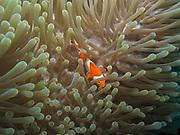 Orange clownfish (Amphiprion percula) in Sea Anemone in Tulamben, Bali, Indonesia
