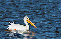 American White Pelican, Pelecanus erythrorhynchos, swims on Lake Ewauna, near Klamath Falls, Oregon