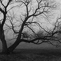 """""""Gnarled Within Fog"""" B&W<br /> <br /> Beautiful gnarled old tree within thick fog! A lovely moody image in B&W!!<br /> <br /> All about Fog by Rachel Cohen"""