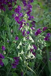Galtonia viridiflora syn. Galtonia candicans 'Viridiflora' - Green-flowered galtonia - with Lathyrus odoratus 'Blue Velvet'