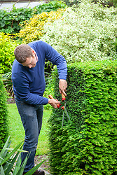 Trimming a yew hedge with shears - Taxus baccata.
