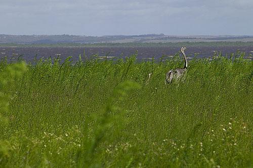 South America, Uruguay, Rocha, Parque Nacional Santa Teresa, Estacion Biologica Potrerillo de Santa Teresa, greater rhea (Rhea americana) and young, Laguna Negra