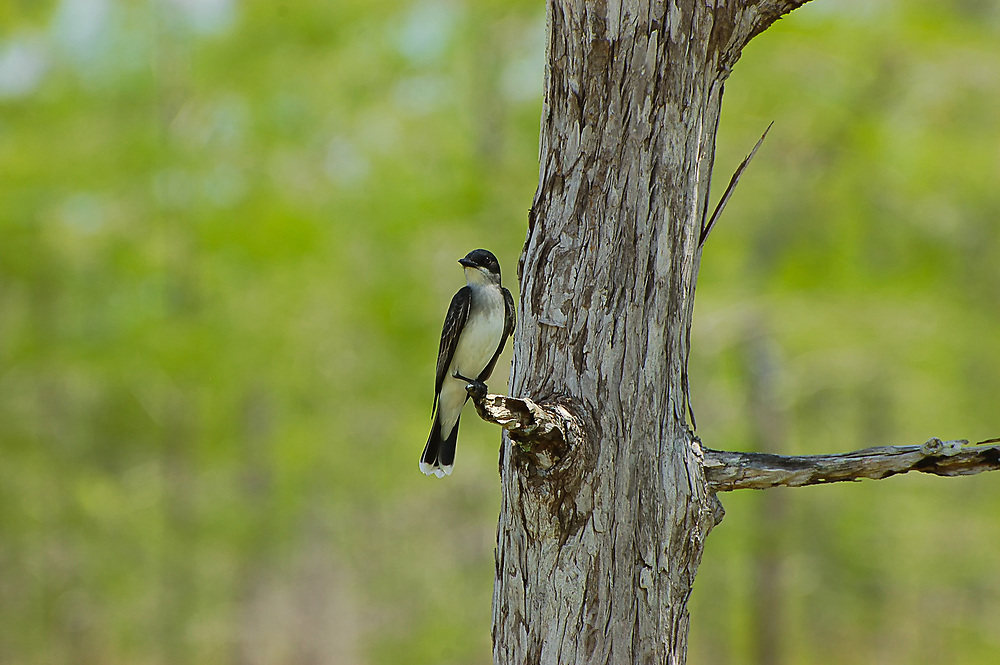 Eastern kingbird seen in the Big Cypress National Preserve. It kept landing near us and seemed to want to be photographed!