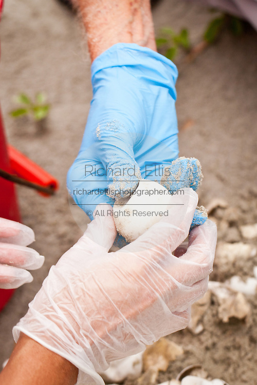 Members of the turtle team examine unhatched loggerhead sea turtle eggs on the beach at Isle of Palms, SC